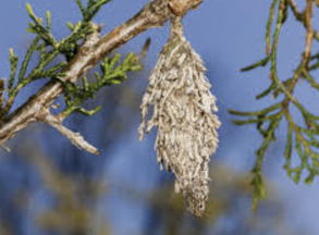 Bagworms in Peoria, Illinois